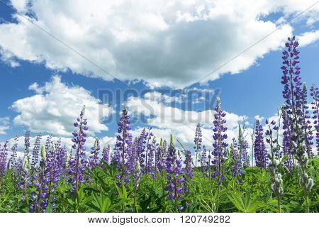 Cirrus cloudy sky above violet color lupine flowers