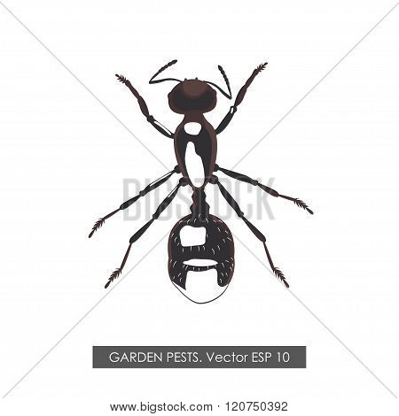 Detailed Drawing Ant On White Background