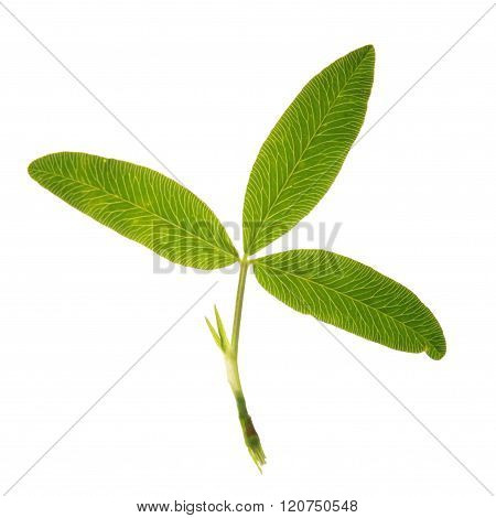Green leaf of Zigzag Clover isolated on white
