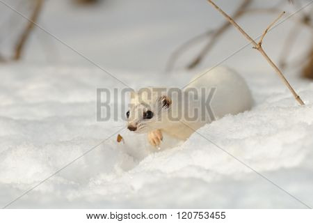 Walking Winter Least Weasel