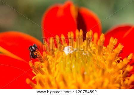 Tiny black bee gathering pollen on a flower