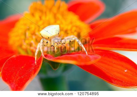 Crab spider waiting the prey in a flower