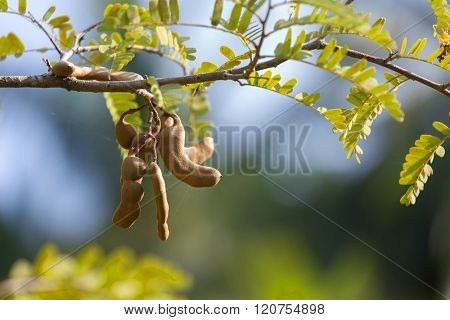Tamarind pod hanging on the tree