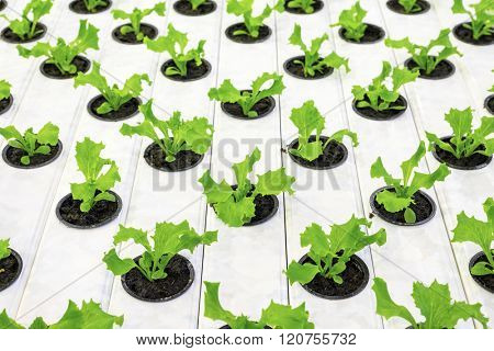 Organic lettuce starting to grow in a greenhouse