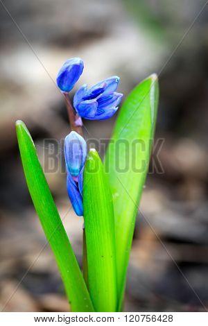 Nice scilla bifolia - wild spring flowers macro shoot