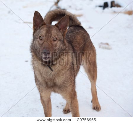 Brown Mongrel Dog Standing On Snow