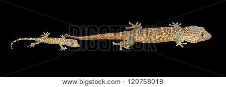 Tokay Geckos