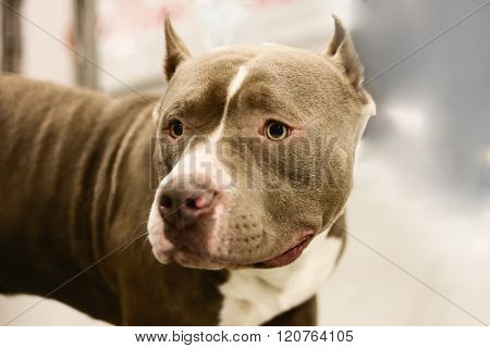 American pit bull Terrier - a favorite of farmers and ranchers.Horizontally