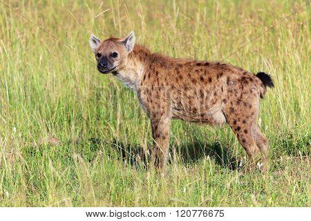 Young Spotted Hyena At The Masai Mara National Park Kenya