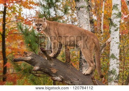 Adult Male Cougar (puma Concolor) Tongue Out