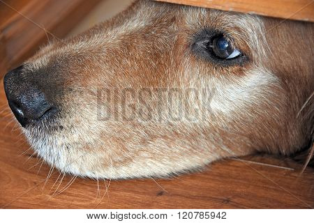 golden retriever nose under door