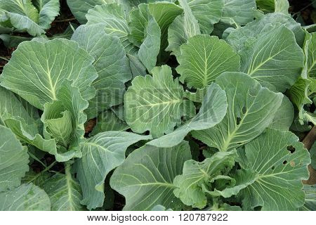 green cabbage plants in growth at garden