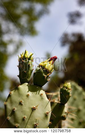 Prickly Pear cactus in blossom during spring in central Texas