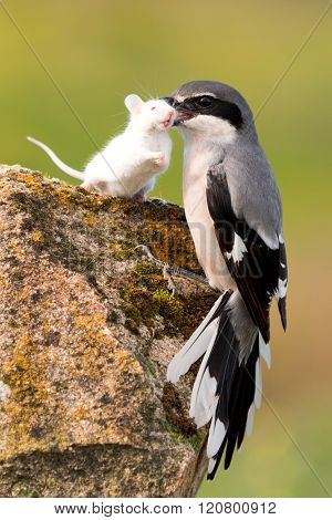 Beautiful bird trapping their prey, a white mouse