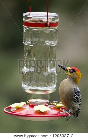 Mexico Golden-cheeked Woodpecker