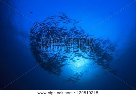 Fish in ocean: Tunas