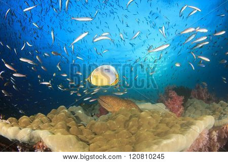 Coral reef, moray eel, butterflyfish and tropical fish in ocean