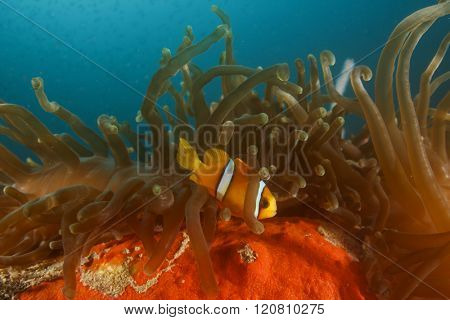 Clownfish anemonefish anemone fish