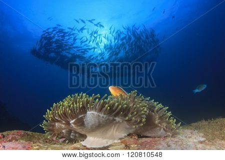 Skunk Anemonefish and school of Bigeye Trevally fish