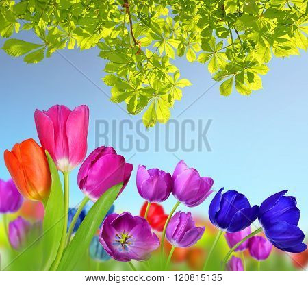 Colorful flowers tulip and branch of chestnut tree.