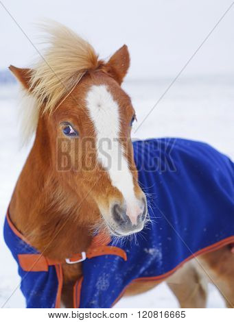 red pony with a big white blaze on his head wearing a blue blanket standing in the snow in a field