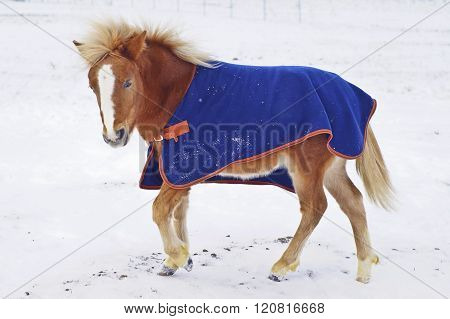 red pony with a big white blaze on his head wearing a blue blanket standing on the snow in a field