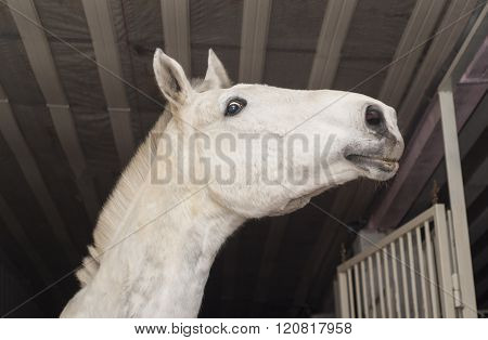 white horse with a short mane and black eyes is in the stable