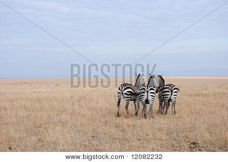Three or four zebras?