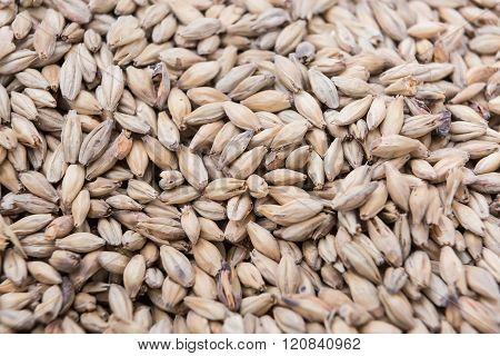 Close-up Of Fresh Malt Seeds