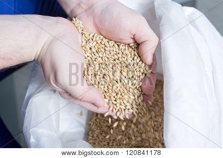 Man Holding Fresh Malt Seeds