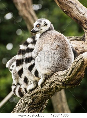 Group Of Ring-tailed Lemurs (lemur Catta) On The Tree Branch
