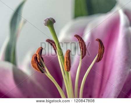 Lilium, The Stargazer Lily