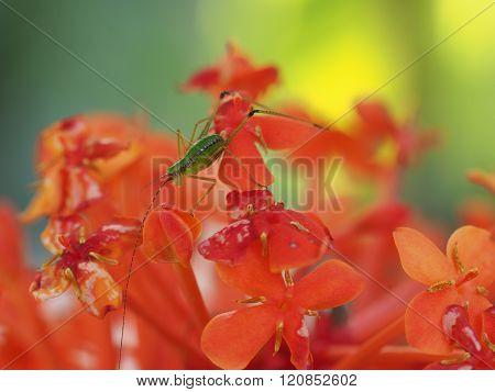 Long Horned Grasshopper On Red Ixora Flower