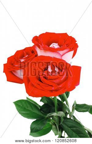 flowers : bouquet of rose flowers with green leaves isolated over white background