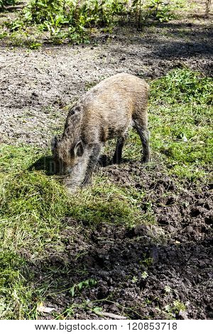 wild boar, Bialowieski national park, Podlaskie Voivodeship, Poland