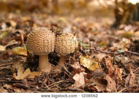 Inedible Toadstool (Mushroom)