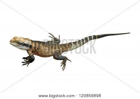 Water Dragon isolated