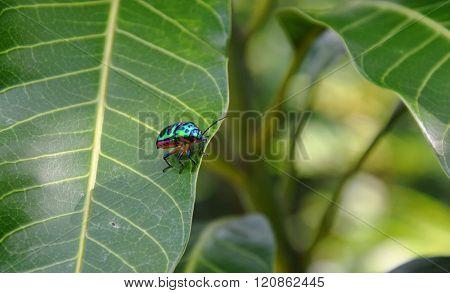 lady bug on mango leaf in park