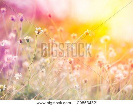 Spanish needle flowers on pastel color tone.