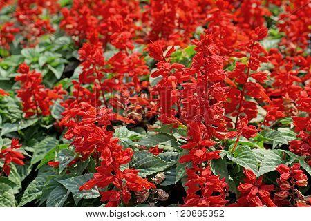 Red Salvia Flower