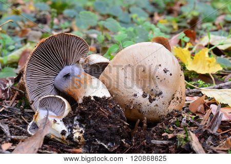 Cortinarius Spilomeus Mushroom