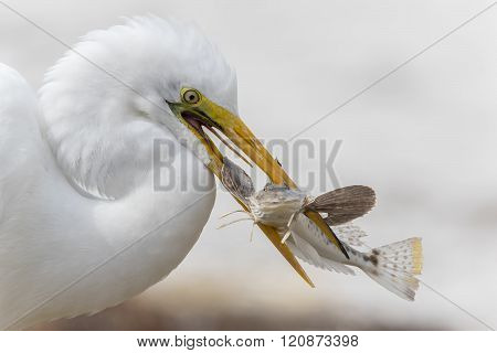 Closeup Of Great Egret Catching A Fish - Florida