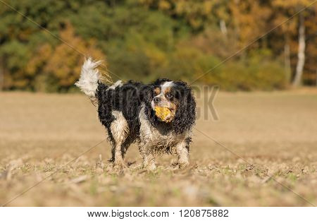 Playing Cavalier King Charles dog