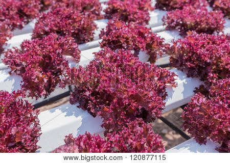 Red Lettuce Cultivation On Hydroponic Technology