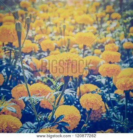 Marigold Flower In Garden With Vintage Effect.