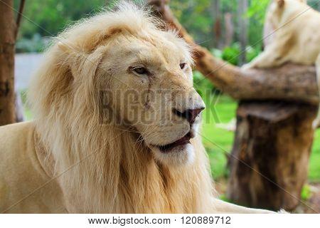 Lion Male Portrait