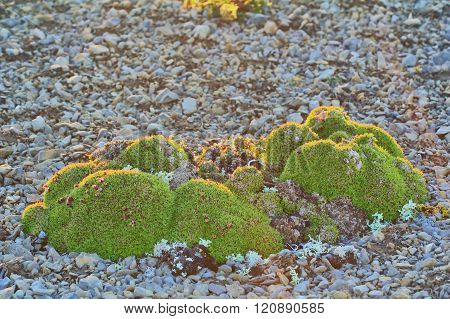 Brevity Of Life: Herbal Cushions (clumps) From Many Species Of Plants In Polar Desert. Novaya Zemlya