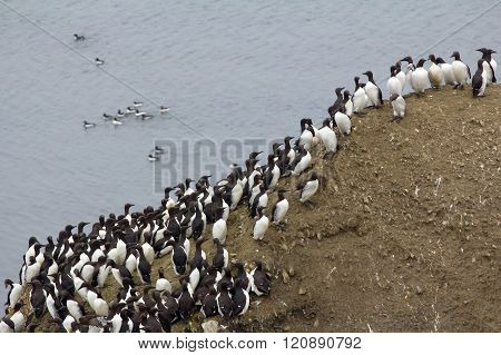Planar Colony Of Brunnich's Guillemots And Common Guillemots On The Novaya Zemlya Archipelago, B