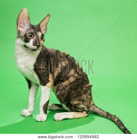 Brown Cat Cornish Rex