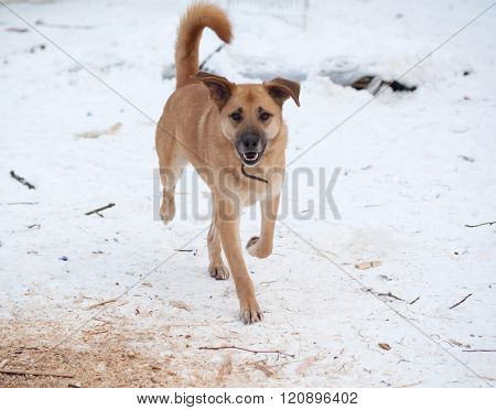 Yellow Mongrel Dog Running On Snow